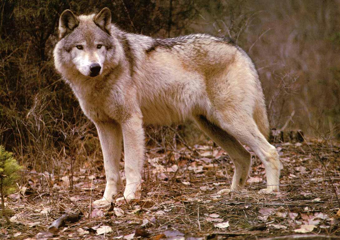 фото волка во весь рост картинки маленькую ванную