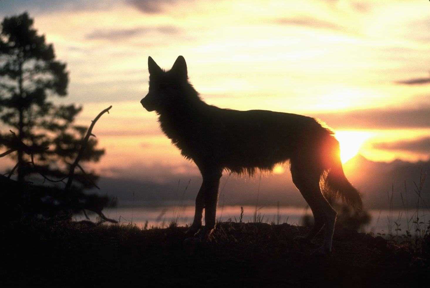 Картинки волков солнца